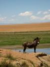 basotho_pony